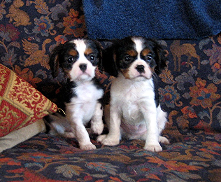 King Charles Cavalier Puppies For Sale